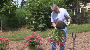 Best Flowers For Small Pots How To Plant A Container Knock Out Rose Youtube