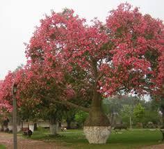 toborochi tree toborochi tree is a different type shape tree