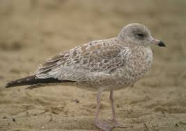 variation in immature ring billed gulls sibley guides