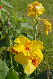Canna Lily India Short Plant Or Canna Lily Or Canna Indica Linn Flowers