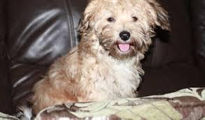 1 week old bichon frise maggie u2013 16 week old female bichon frise cross yorkshire terrier