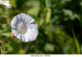 White Trumpet Flower - trumpet weed stock photos u0026 trumpet weed stock images alamy