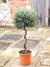 10 olive bonsai tree olea europaea seeds mini olive tree olive