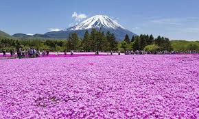 Flowers In Japanese Culture - shibazakura u2013 a pink carpet produced by nature japan monthly web
