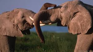 bbc earth male elephants are not the loners we once thought