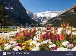 canada flowers flowers in hotel grounds on the shores of lake louise rocky stock