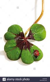 lucky four leaf clover with ladybug stock photo royalty free
