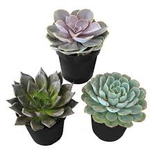 9 cm assorted desert rose echeveria succulent plant 3 pack