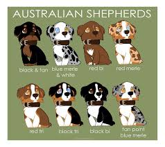 australian shepherd 60 minutes a little info graphic about aussies jace is a blue merle with