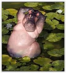 Hippo Memes - pin by steve clarke on hippo memes pinterest hippopotamus