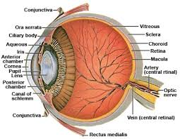 Pictures Of The Anatomy Of The Human Body Eye Anatomy Ocular Anatomy Vision Conditions U0026 Problems
