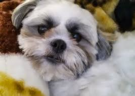 pictures of shorkie dogs with long hair learn about the shih tzu yorkie mix aka shorkie
