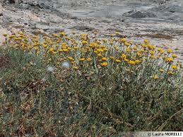 immortelle d italie cuisine immortelle d italie plante curry helichrysum italicum cultiver