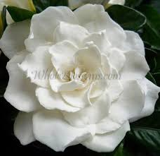 gardenia flower delivery buy wholesale gardenia wedding flowers gardenia flowers delivery