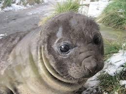 seals u2014 australian antarctic division