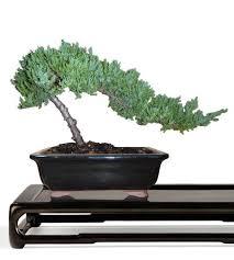 buy bonsai trees juniper bonsai tree small bonsai juniper