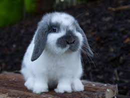 25 mini lop rabbit ideas mini lop baby