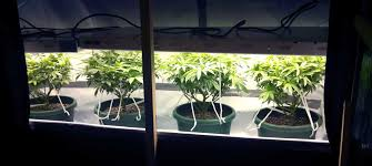 t5 fluorescent grow lights using t5 grow lights for cannabis cultivation grow weed easy