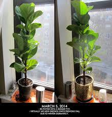 fiddle leaf fig update joe cheryl