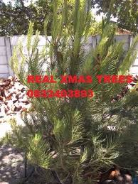 real trees delivered most areas other gumtree