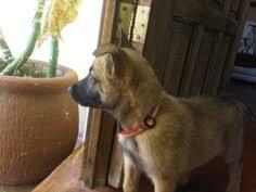 belgian shepherd sydney belgian shepherd or malinois secret service dogs cats u0026 dogs