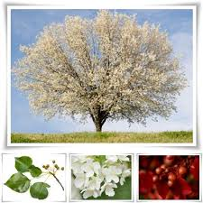 incredibly enchanting facts about bradford pear trees