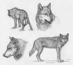 64 best wolf drawing references images on pinterest wolf