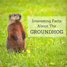 groundhog facts learn adorable intelligent animal