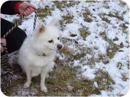 american eskimo dog rescue michigan david adopted dog oxford mi pomeranian american eskimo dog mix