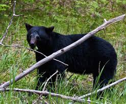 c c australian shepherds louisiana louisiana black bear removed from endangered species list good