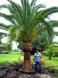 sylvester palm tree sale wholesale palms aqualityplant