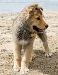 australian shepherd husky mix he u0027s an aussie golden huskey mix how perfect would this puppy be