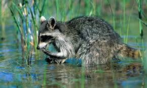 why do raccoons wash their food howstuffworks