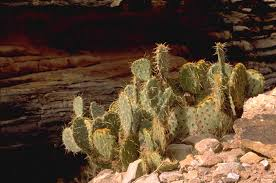 native plants in arizona cacti desert succulents grand canyon national park u s