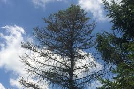 blue spruce trees fungal disease infects blue spruce trees across the midwest news