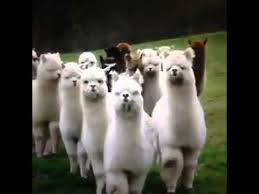 Alpaca Sheep Meme - alpaca clique youtube