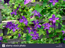 clematis perle d u0027azur dazur dazure purple mauve climbers climber