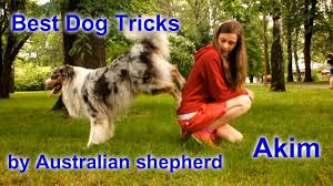 lazy l australian shepherds the most amazing dog tricks by australian shepherd akim youtube