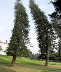 the pine trees that point to the equator