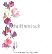 Sweet Pea Images Flower - sweet peas stock images royalty free images u0026 vectors shutterstock