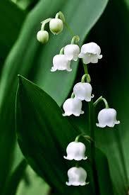 of the valley flower list 3 favorite flowers songbird