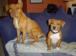 l american pitbull terrier a p b t pit bull photos american pit bull terrier pics pictures