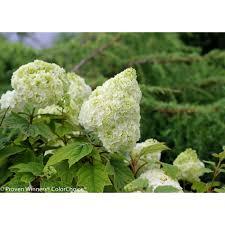 hydrangea endless summer hydrangea shrubs trees u0026 bushes the home depot