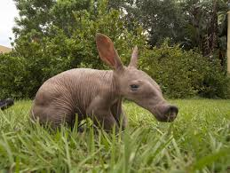 busch gardens halloween horror nights baby aardvark born at busch gardens in tampa orlando sentinel