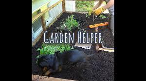 crusoe the dachshund is the best garden helper youtube