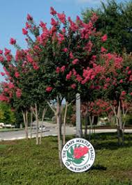 pruning crape myrtle trails of mckinney for the of