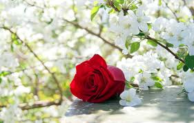 flowers white scent garden natural blooming rose nature rebirth