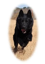 belgian sheepdog for sale in texas sudenblick k9 texas german shepherds sudenblick texas german