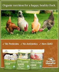 What To Feed Backyard Chickens by Why Backyard Chickens Lay Weird Looking Eggs U0026 What To Do About It