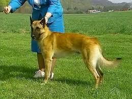 belgian shepherd virginia belgian malinois akc dog breed series youtube